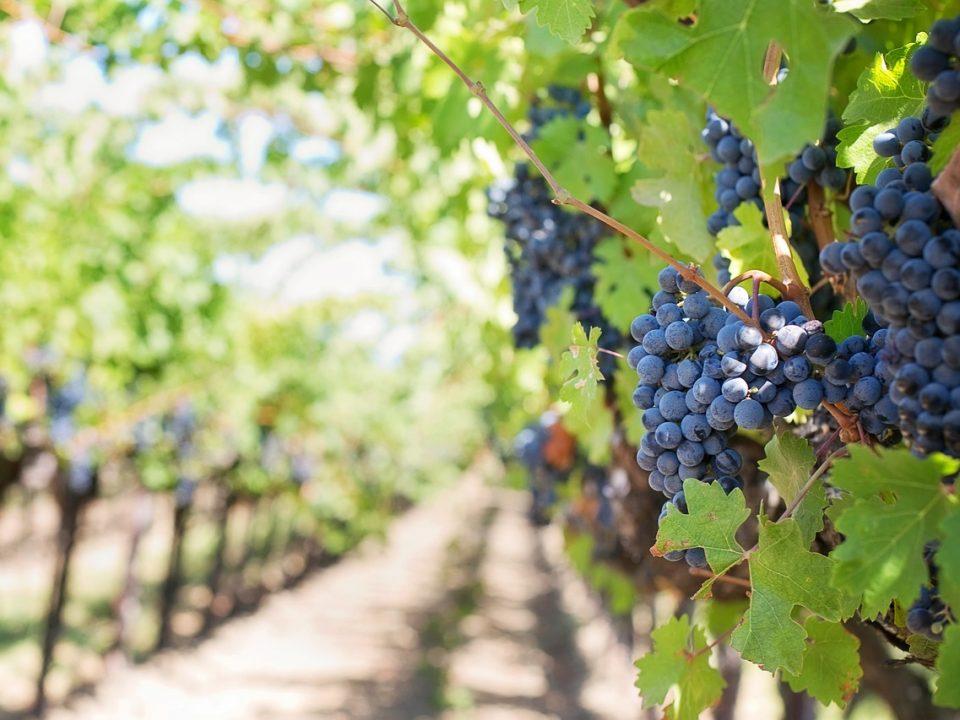 Grape vineyards in Tikvesh