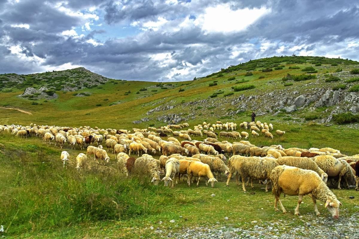 Sheep in the mountain, Mavrovo