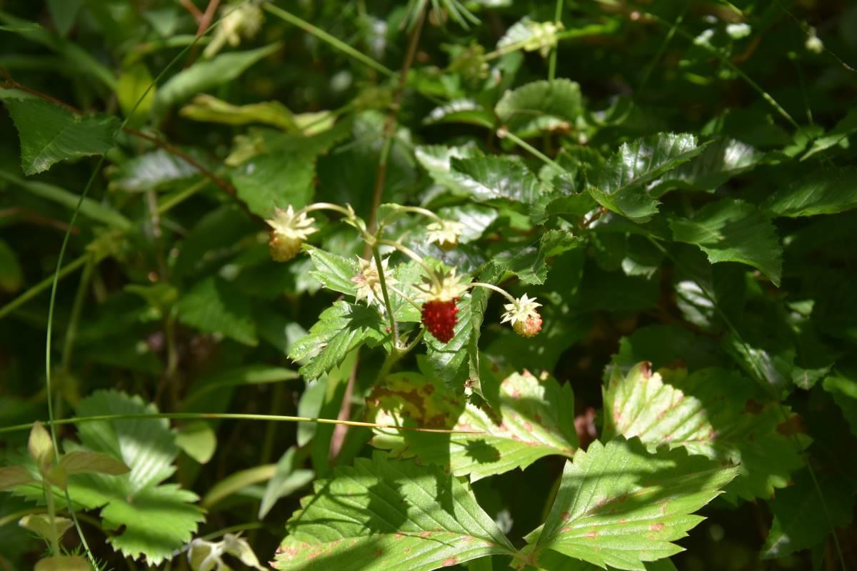 Wild strawberry in the Mavrovo woods